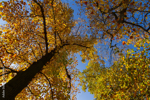 canvas print picture Autumn colored national tree of state Indiana - liriodendron