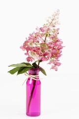 Rispenhortensie (Hydrangea paniculata), weisser Hintergrund