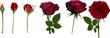 Obrazy na płótnie, fototapety, zdjęcia, fotoobrazy drukowane : rose blossoming stages isolated on white