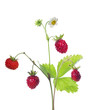 flower on wild strawberry isolated branch