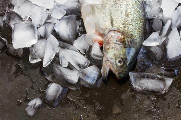 fresh trout