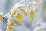 Fototapety bush yellow leaves covered with rime