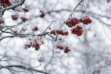 rowanberries covered with hoarfrost in the winter morning