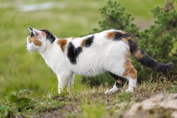 A cute domestic cat prowling on a rock.