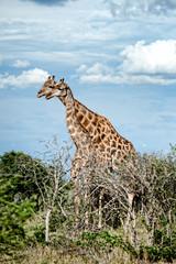 Giraffe, Namibia, Africa