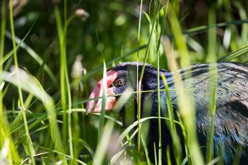 Takahe,a rare native bird of New Zealand