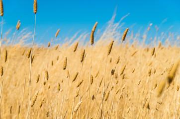 Dry grasses in Australian outback