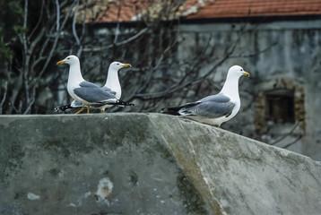 Italy, Molise, Tremiti Islands, seagulls - FILM SCAN