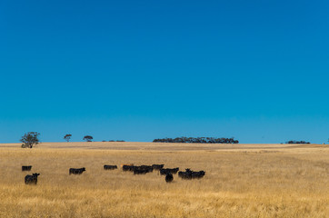 Black cows in the Australian outback