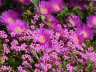 Magenta pink pigface flowers in Croatia