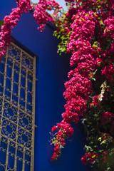 Bougainvillea-Strauch in Marrakesch