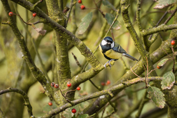 Great Tit on branch