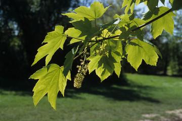 erable sycomore,  Acer pseudoplatanus