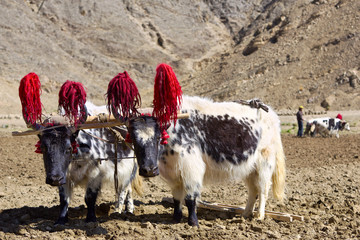 Tibetan yaks in farmland