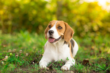 Beagle dog resting in garden