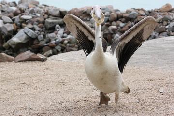 Angriffslustiger Pelikan in Walvis Bay