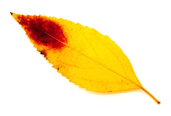 Dry autumn leaf isolated