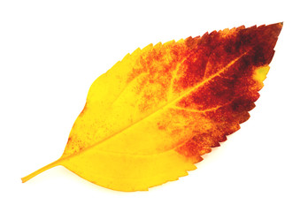 Colorful autumn leaf isolated