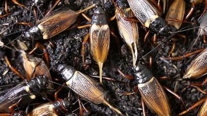 black cricket, Macro close up.