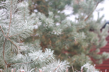 background with snow-covered fir tree branches