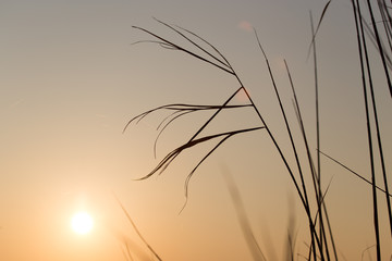 reeds at sunset in nature