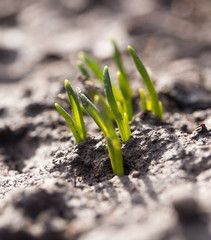 sprouting grass. macro