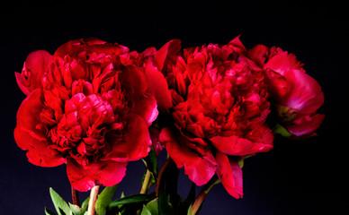 Dark red peony