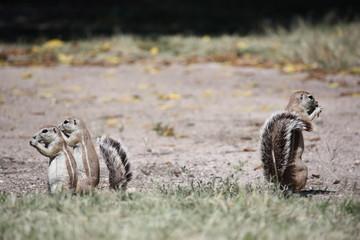 Borstenhörnchen in Namibia