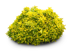 Fresh goldish plant on white background