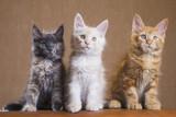 3 Cute Maine Coon kittens