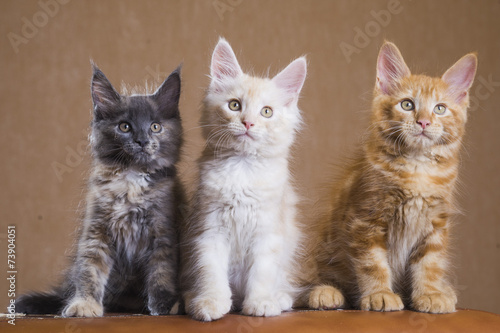 Foto op Canvas Lynx 3 Cute Maine Coon kittens