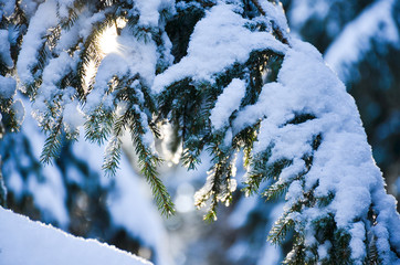 Fir tree branches with snow in winter season, in the forest