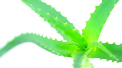 Aloe vera turning leaves