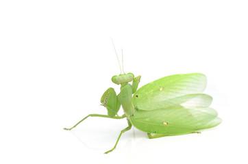 Female European Mantis or Mantis religiosa, isolated on white