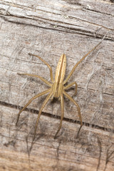 Slender crab spider, Tibellus spider on wood