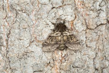 Dusky marbled brown, Gluphisia crenata resting on wood