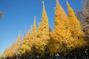 秋晴れの銀杏並木