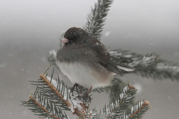 Junco On A Branch in a Snow Storm