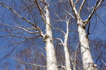 奥日光湯元の白く輝く白樺の幹