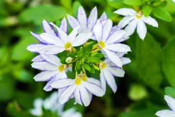 Scaevola aemula, blue fan flower, GOODENIACEAE