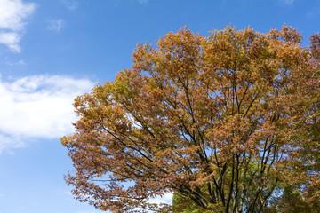 ケヤキの紅葉と青空
