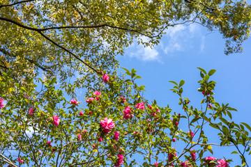 サザンカの花と青空