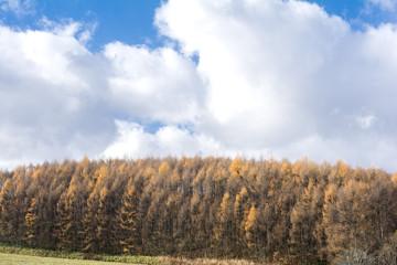 美瑛のカラマツ林の黄葉と空