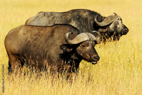Aluminium Buffel Cape Buffalo on Masai Mara in Africa