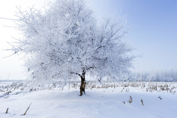 Trees in frost and landscape in snow
