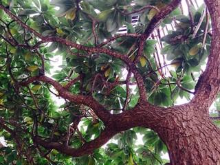 ficus tree in mauritius