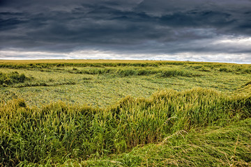 Wheat field destroyed by storm on dramatic sky.