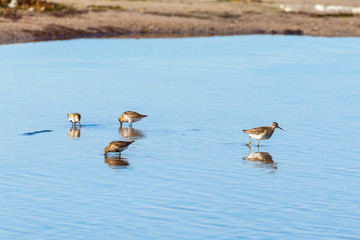 Dunlins and Wood sandpiper