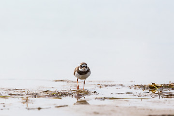 Ringed plover at a beach