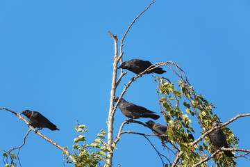 Jackdaws sitting in a birch tree top